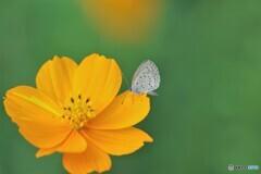 黄花にシジミ