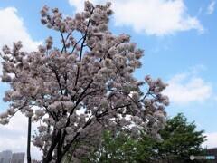 八重桜便り~xvii
