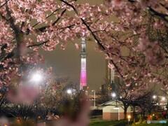 オオカンザクラ夜桜~ⅶ