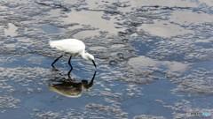 隅田川の白鷺、、、。