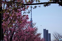 陽光桜とスカイツリー