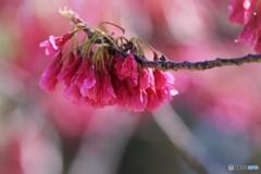 汐入 寒緋桜。