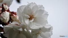 平成最後を咲く桜達~lxi
