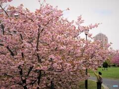 名残り惜しき八重桜~ⅵ