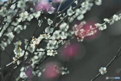 まだ輝く梅花