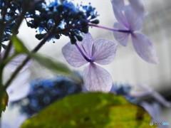 梅雨に咲く花~ⅱ
