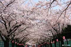 白髭公園桜まつり