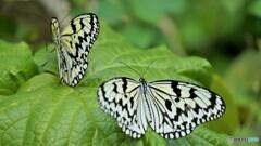冬の蝶~⑤
