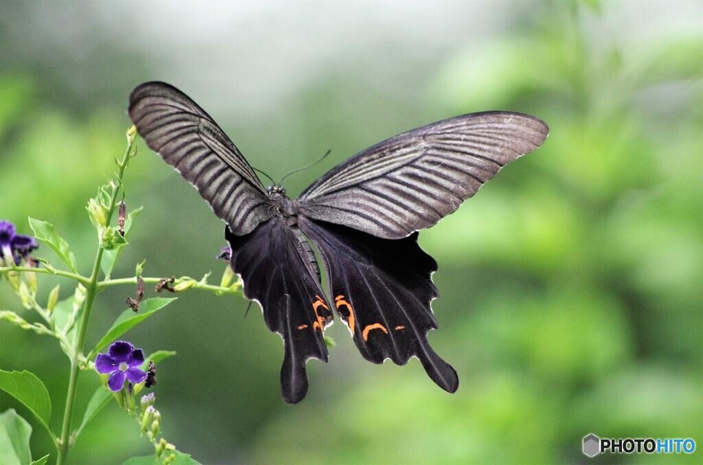 黒蝶の魅力~ⅵ