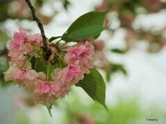 化粧桜~ⅰ