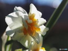 八重に咲く、、、。