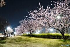 オオカンザクラ夜桜~xiii