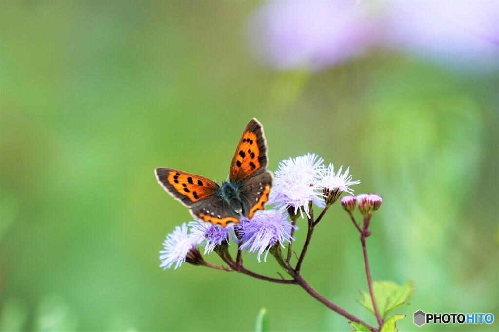 アゲラタムと蝶~ⅱ