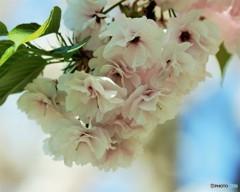 一葉桜、、、。