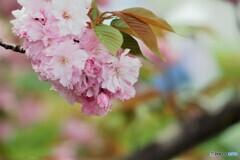 名残り惜しき八重桜~ⅲ