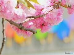 虹色関山桜~ⅲ