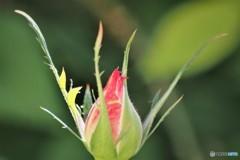 狂い咲きのベランダ~②