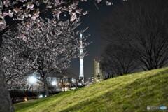 オオカンザクラ夜桜~ⅻ