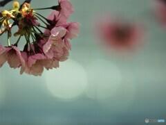 2021陽光桜便り~④