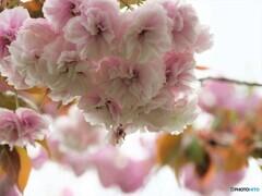 名残り惜しき八重桜~ⅷ