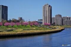 汐入公園と陽光桜