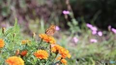 引き気味な蝶~ⅴ
