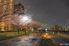 オオカンザクラ夜桜~ⅳ