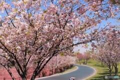 汐入八重桜絶頂、、、。