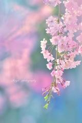 桜 ~Pastel Color~