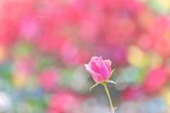 恋はバラ色