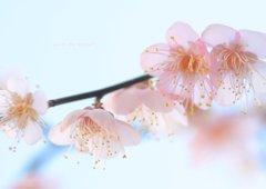 透ける花びら