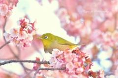 ❀桜っこ❀