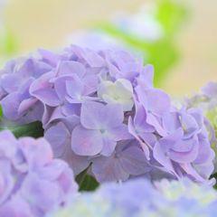 pale violet
