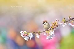 春彩すずめ