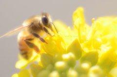 菜の花と蜜蜂♪