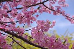 兵庫の河津桜