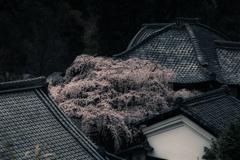 なりひら寺の雨桜