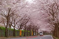 桜並木の下を・・・