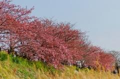 桜並木♪ PartⅠ