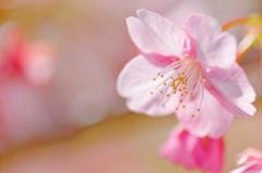 河津桜♪ PartⅡ