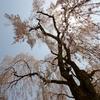 久遠寺の枝垂桜♪ PartⅢ