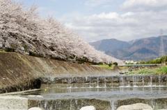 水無川と桜並木♪