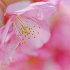 河津桜♪ PartⅠ