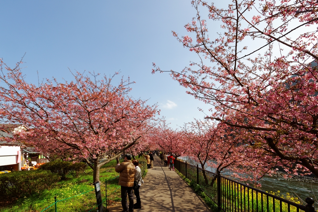 桜並木♪ PartⅡ