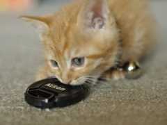 レンズのキャップを食らう子猫