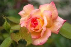 本日の薔薇