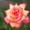 庭の薔薇,まだまだです。