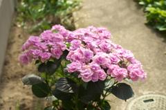 母の日の紫陽花