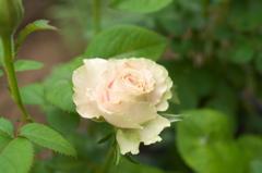 これなんていう小薔薇?
