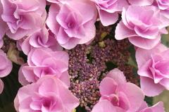 母の日の紫陽花 アップ